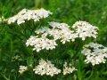 Тысячилетник Achillea millefolium Red Velvet    рост 40 – 60
