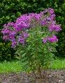 Флокс Крупнолистный  Phlox amplifolia Waupee  рост 30 – 40