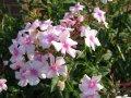 Флокс Метельчатый  Phlox paniculata Aureole PBR рост 30 – 40