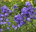 Phlox Panicled Phlox paniculata Blue Paradise growth 30 – 40