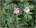 Шиповник Rosa rugosa рост 40 – 60