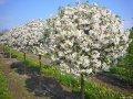 Яблоня Malus domestica CHARŁAMOWSKIE   рост 100 – 120