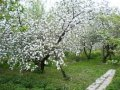 Яблоня Malus domestica Charles Ross    рост 100 – 120