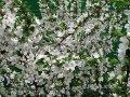 Яблоня Malus domestica Cynamonówka Prążkowana    рост 100 – 120