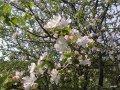 Яблоня Malus domestica Gala  рост 160 – 180