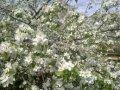 Яблоня Malus domestica Grafsztynek Inflancki    рост 100 – 120