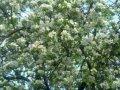 Яблоня Malus domestica Grochówka    рост 100 – 120