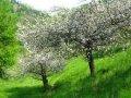 Яблоня Malus domestica SZARA RENETA   рост 160 – 180