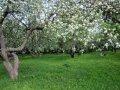 Яблоня Malus domestica TITÓWKA   рост 100 – 120