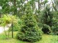 Ель европейская ком натур. джут  Эксцелса Picea abies Сорт Excelsa Конус формовка высота 150-170см