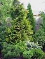 Ель европейская ком натур. джут  Эксцелса Picea abies Сорт Excelsa Конус формовка высота 190-210см