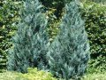 Кипарисовик Лавсона Минима Глаука шар Chamaecyparis lawsoniana Сорт Minima Glauca boll  высота 15-20см