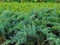 Можжевельник горизонтальный Голден Карпет Juniperus horizontalis Сорт Golden Carpet высота 6-8см