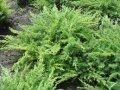 Можжевельник горизонтальный Лаймглоу Juniperus horizontalis Сорт Limeglow Lime Glow    высота 27-32см
