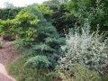 Можжевельник виргинский Канаэрти Juniperus virginiana Сорт Canaertii высота 20-25см