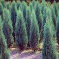 Можжевельник виргинский Канаэрти Juniperus virginiana Сорт Canaertii высота 25-30см