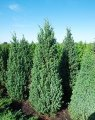Можжевельник китайский Обелиск  Juniperus chinensis Сорт Obelisk высота 160-170см