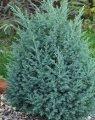 Можжевельник китайский Спартан Juniperus chinensis  Сорт Spartan    высота 25-35см