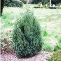 Juniper Chinese Strikta Juniperus chinensis Sort Stricta height the 20-30th