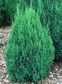 Можжевельник китайский Стрикта Juniperus chinensis Сорт Stricta     высота 70-80см