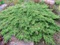 Можжевельник обыкновенный Гринмантл  Грин Мантл  Juniperus communis Сорт Greenmantle  Green Mantlе высота 5-8см