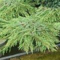 Можжевельник обыкновенный Гринмантл  Грин Мантл  Juniperus communis Сорт Greenmantle  Green Mantlе высота 8-12см