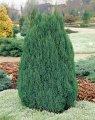Можжевельник обыкновенный Репанда Juniperus communis Сорт Repanda высота 10-15см