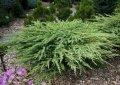 Можжевельник прибрежный Блю Пасифик Juniperus conferta  Сорт Blue Pacific высота 5-10см