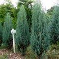 Можжевельник скальный Скайрокет Juniperus scopulorum Сорт Skyrocket высота 80см
