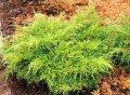 Можжевельник средний Голд Кост Juniperus pfitzeriana Сорт Gold Coast    высота 10-15см