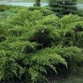 Можжевельник средний Голд Стар Juniperus pfitzeriana Сорт Gold Star     высота 25-35см
