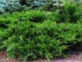 Можжевельник средний Пфитзериана Аурэа Juniperus pfitzeriana Сорт Pfitzeriana Aurea   высота 15-20см