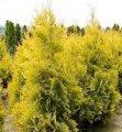 Туя западная Еллоу Риббон  Thuja occidentalis Сорт Yellow Ribbon  высота 100-115см