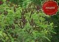 Аморфа кустарниковая  для укрепления склонов, откосов  Amorpha fruticosa высота 120-130см