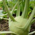 Венская белая / vienna white — капуста кольраби, hortus 100 грамм