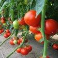 Пабло f1 / pablo f1 — томат индетерминантный, sakata 1000 семян