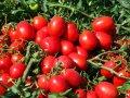 Кальверт f1 / kalvert f1 - томат детерминантный, esasem 1000 семян