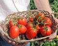 Бенито f1 / benito f1 - томат детерминантный, bejo 5 грамм семян