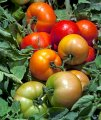 Трибека f1 / tribeca f1 - детерминантный томат, nickerson zwaan 1 000 семян