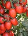 Калиста f1 / calista f1 - детерминантный томат, nickerson zwaan 1 000 семян