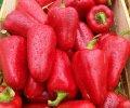Любовь f1 / lubov f1 - перец сладкий, syngenta 500 семян