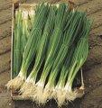 Nasiona cebuli