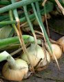 Балстар f1 / balstar f1 - лук репчатый озимый, seminis 500 грамм семян