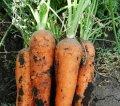 Seminte de morcov