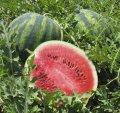 Крисби f1 / crisby f1 - арбуз, nunhems 1000 семян