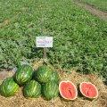 Трв (кримсон руби) f1 / trw (krimson ruby) f1 — арбуз, sakura 1 000 семян
