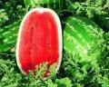 Триумф f1 / triumph f1 –  арбуз, hollar seeds  1 000 семян