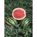 Кримсон свит  / crimson sweet  –  арбуз, hollar seeds  5000 грамм семян