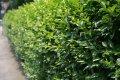 Бирючина обыкновенная  Атровиренс для живых изгогородей  Ligustrum vulgare высота 65-70см