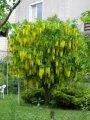 Бобовник анагиролистный Laburnum anagyroides высота 50-70см